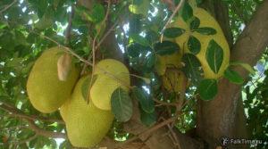 Джекфруты на дереве