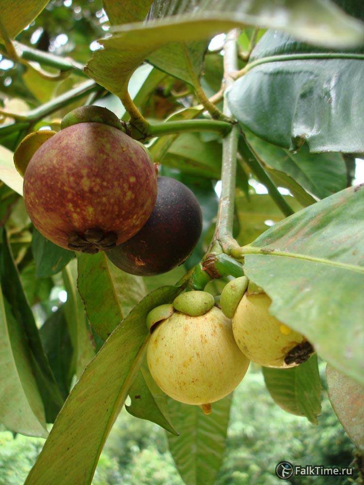Стадии зрелости плода мангостана