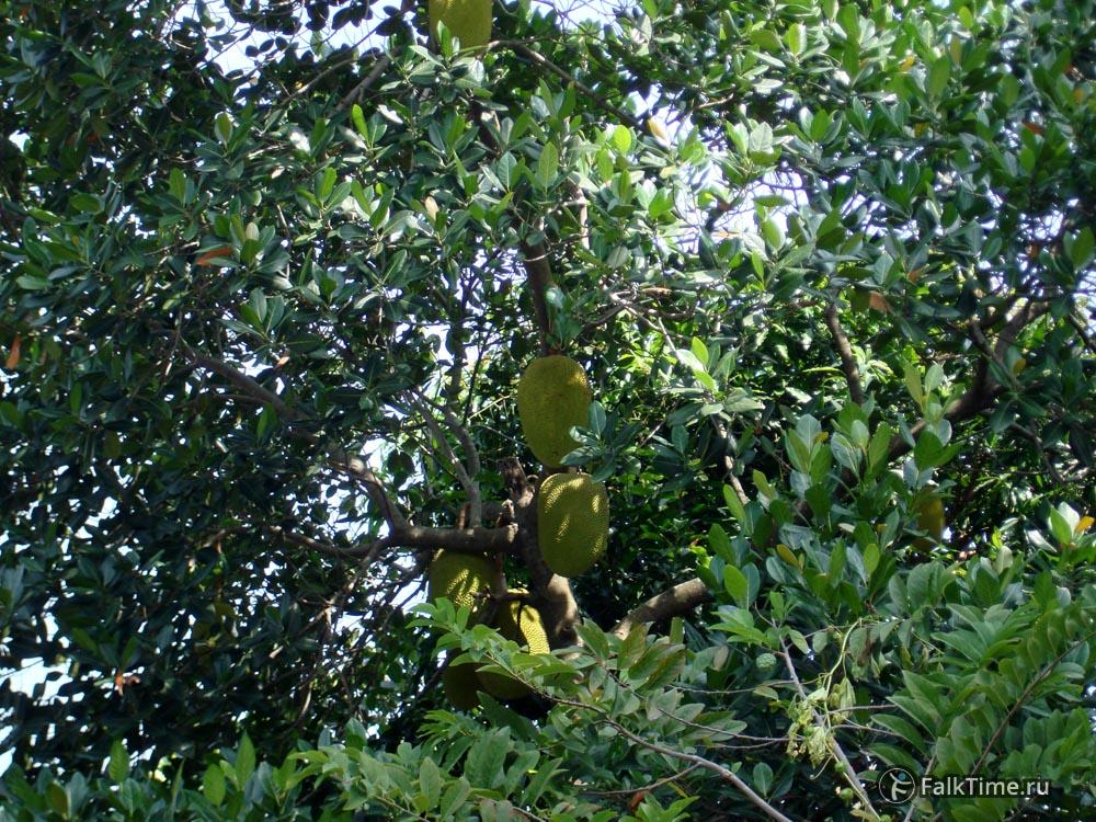 Джекфрутовое дерево