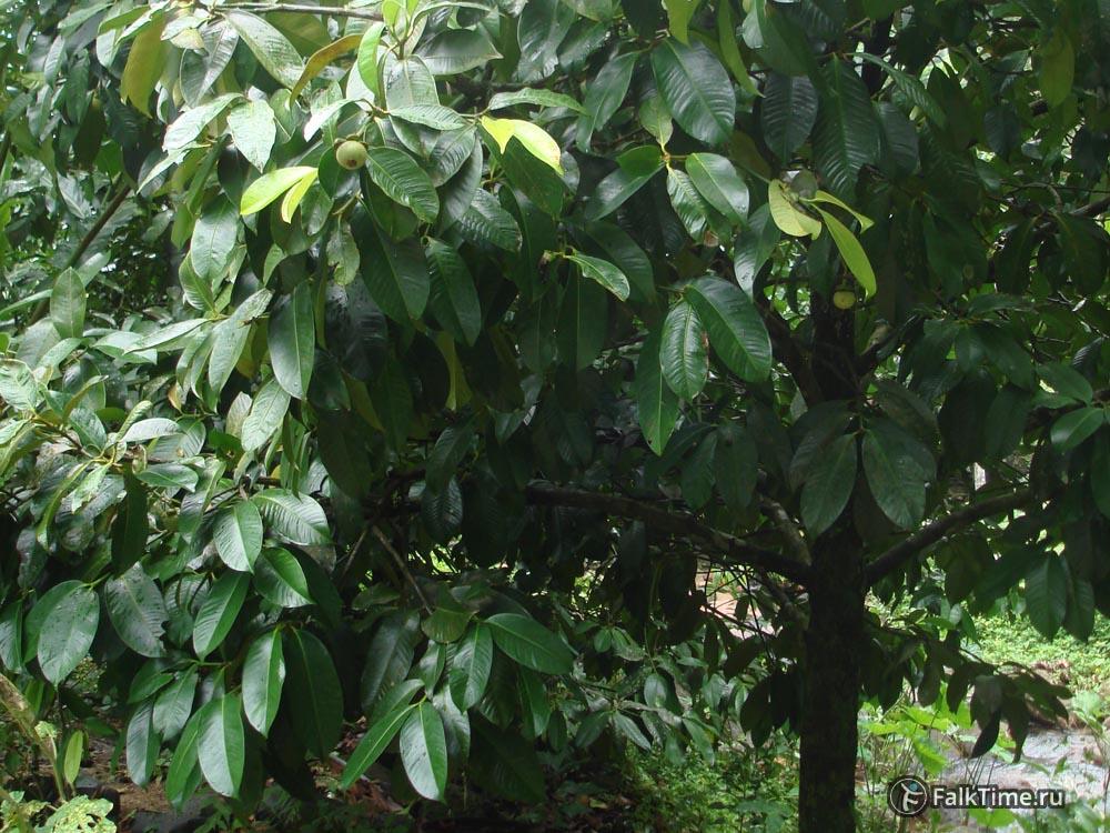 Мангостаны на дереве