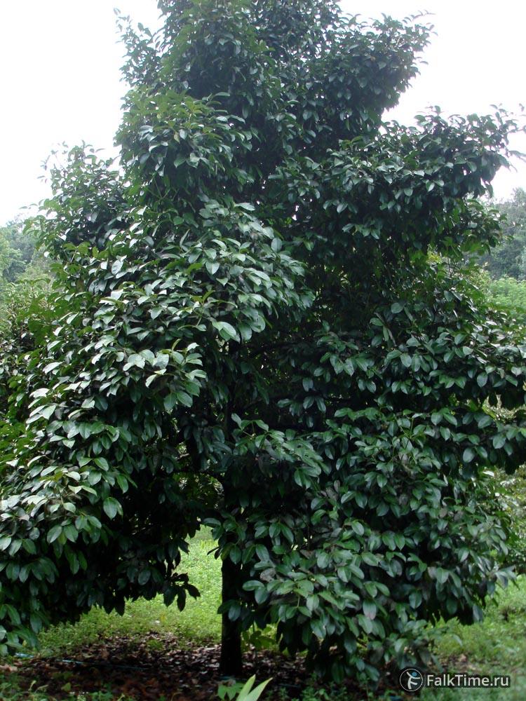 Мангостановое дерево