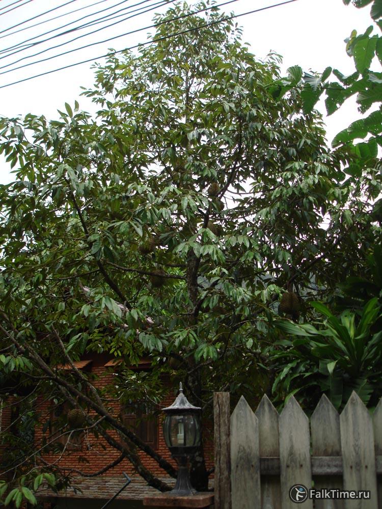 Молодое дуриановое дерево