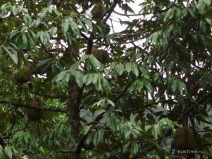 Дурианы на дереве