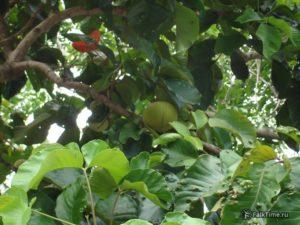 Зелёный сантол на дереве