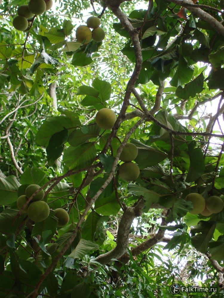 Дерево, усеянное сантолами