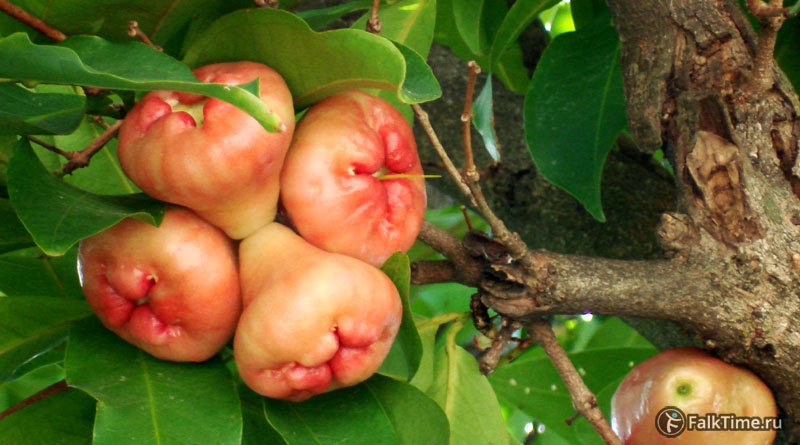Розовые малайские яблоки на ветке