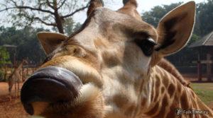 Жираф показывает язык в тайском зоопарке