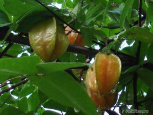 Оранжевая карамбола с зелёными гранями