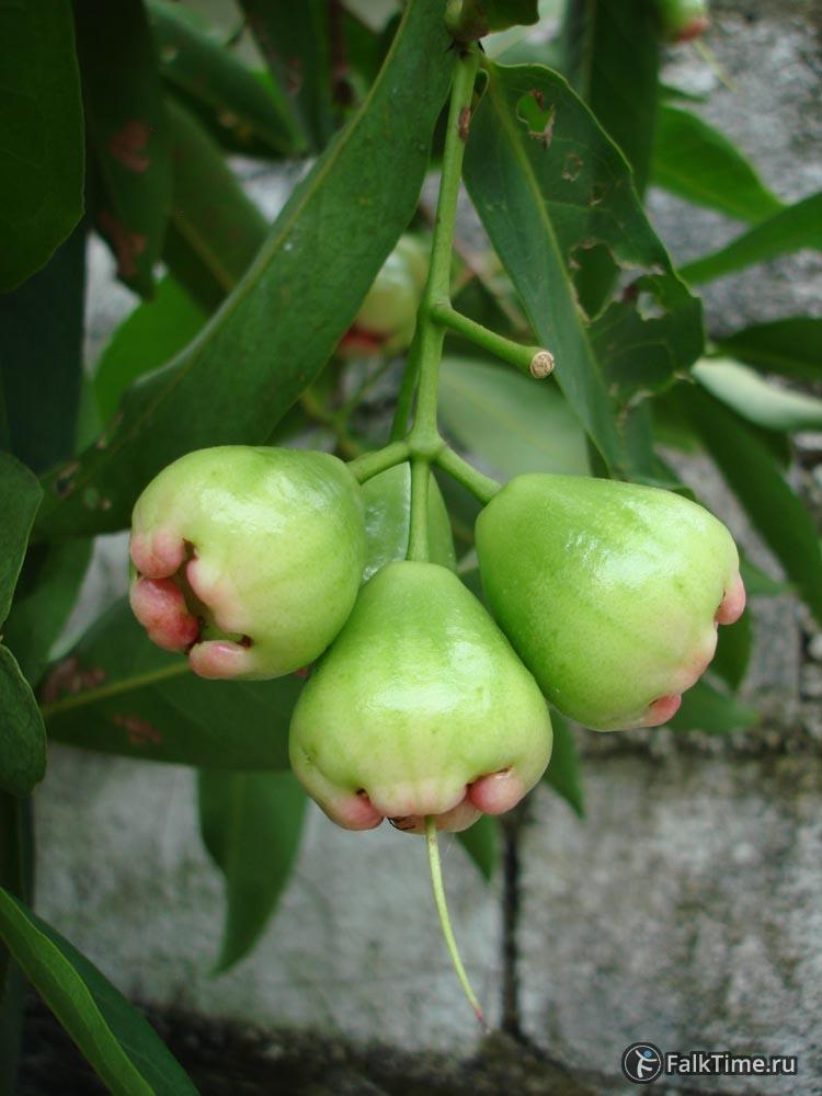 Незрелые малайские яблочки