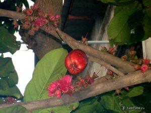 Необычная малайская яблоня