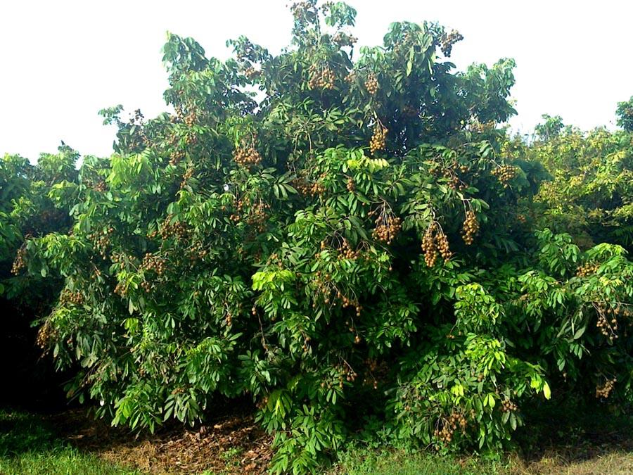 Лонгановое дерево