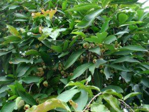 Много малайских яблок