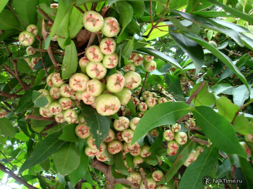 Мноооого малайских яблочек
