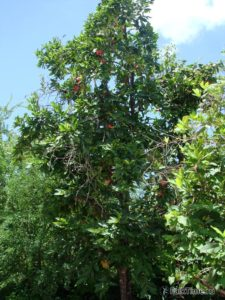 Малайская яблоня