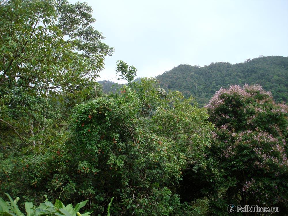 Рамбутановое дерево