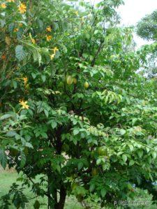 Карамболовое дерево