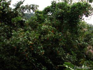 Рамбутаны на дереве