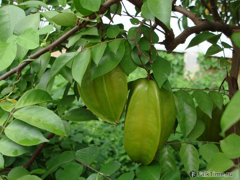 Зелёные плоды карамболы