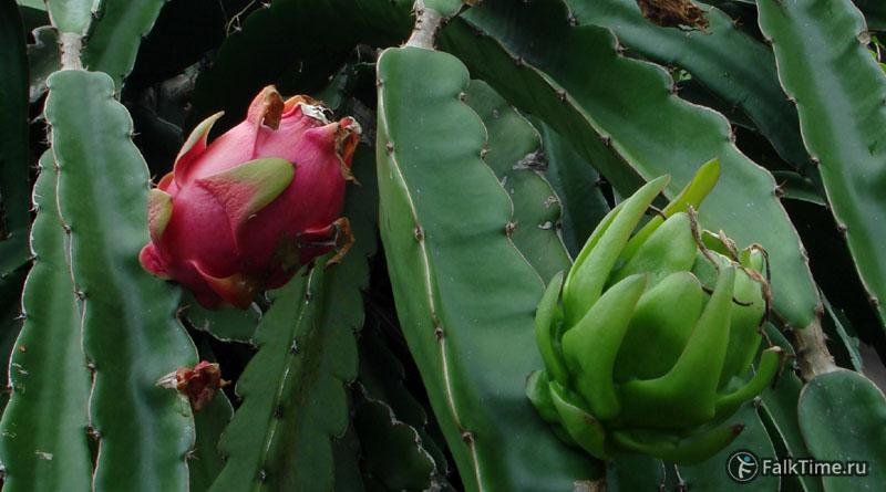 Зрелый и незрелый плоды на ветке