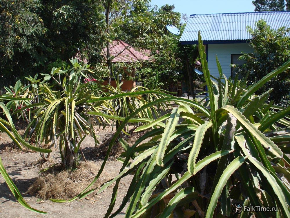 Сад из питахайи
