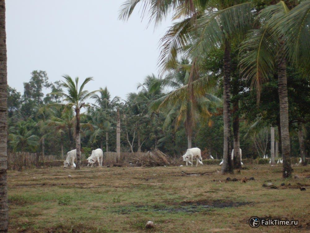 Коровы на территории вата Ян