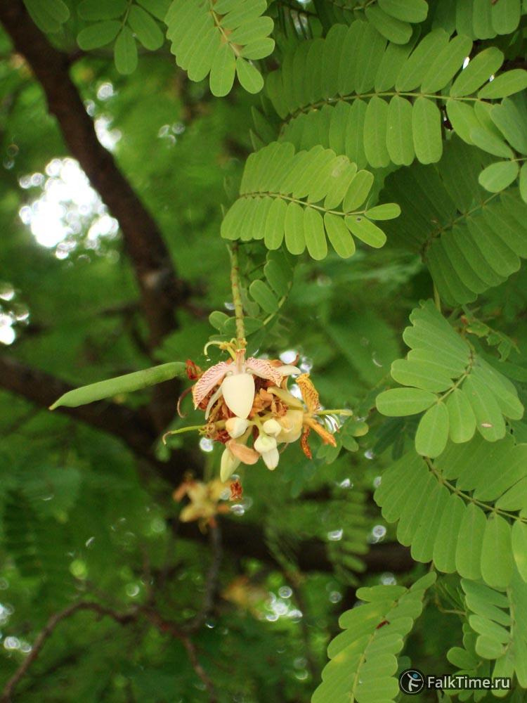 Цветы тамаринда