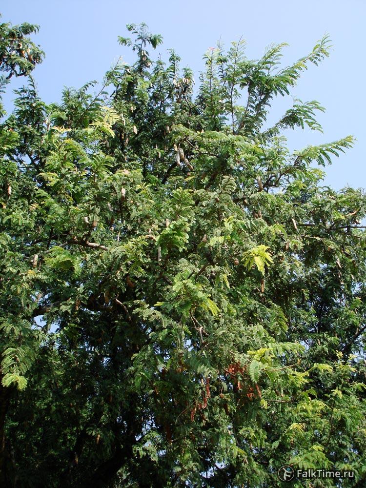 Тамариндовое дерево с пложами