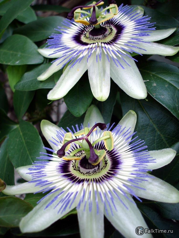 Цветы маракуйи