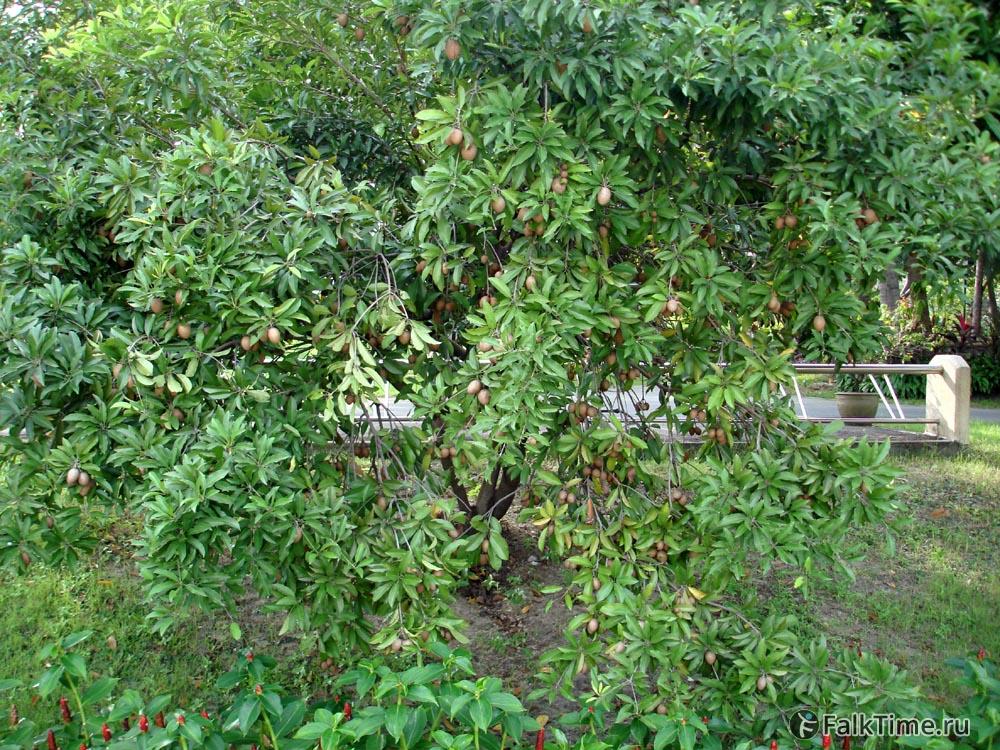 Саподилла, дерево