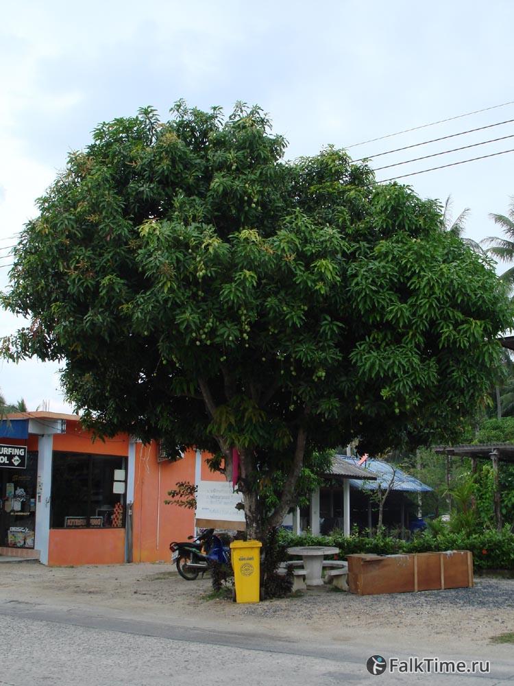 Марианская слива (дерево)