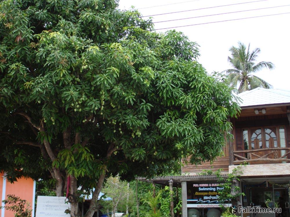 Марианская слива - дерево с зелёными плодами
