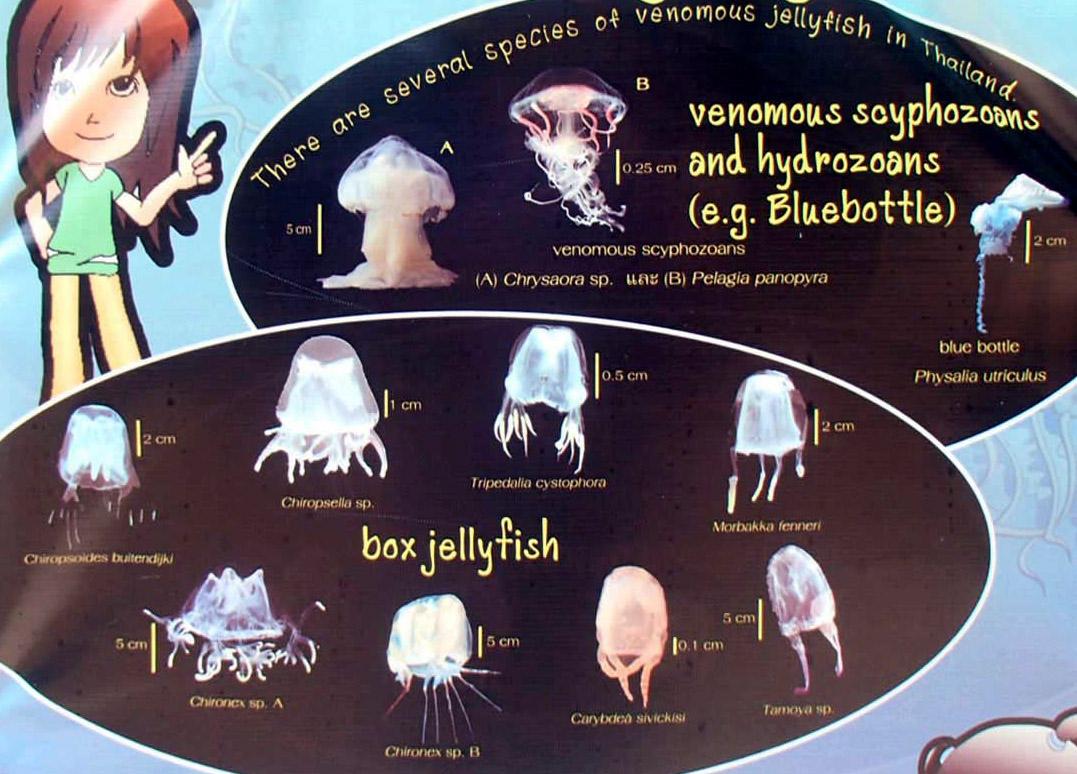 Виды ядовитых медуз в Таиланде