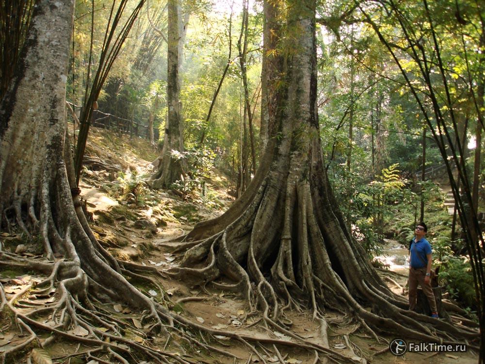 Деревья с досковидными корнями