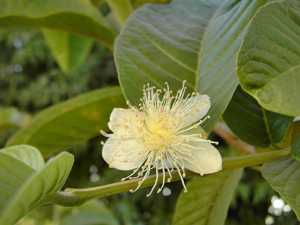 Цветок гуавы